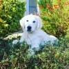Marvel, chien Golden Retriever