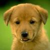 Max, chien Berger blanc suisse