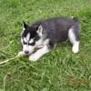 Max, chien Husky sibérien
