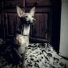 Maxi, chien Podenco ibicenco