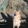Maya, chien Spitz allemand