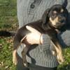 Melba, chien Brachet autrichien noir et feu