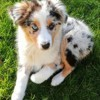 Melly, chien Berger australien
