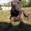 Menza, chien Shar Pei