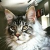 Merlin, chat Maine Coon