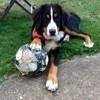 Mia, chien Bouvier bernois