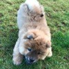 Mia, chien Chow-Chow
