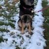 Mia, chien Beauceron