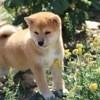 Mika, chien Shiba Inu