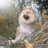 Mikko, chien Spitz allemand