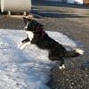 Miko, chien Border Collie