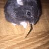 Milane, rongeur Hamster