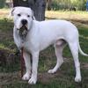 Milo, chien Dogue argentin