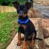 Milo, chien Toy Terrier anglais noir et feu