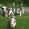 Milou, chien Beagle