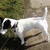 Milou, chien Jack Russell Terrier