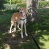 Mimi, chien Barzoï