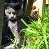 Mimi La Tigresse, chat Chartreux