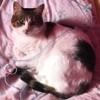 Minette, chat Japanese Bobtail