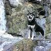 Minga, chien Malamute de l'Alaska