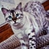 Minnette, chat Bengal