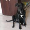 Mirabelle, chien Cane Corso