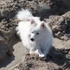 Mirage, chien Spitz japonais