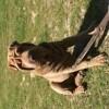 Mirko, chien Bull Terrier