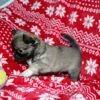 Missy, chien Chihuahua