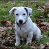 Mojito, chien Jack Russell Terrier