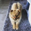 Moka, chien Spitz allemand