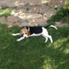 Moka, chien Beagle