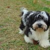 Molly, chien Coton de Tuléar