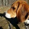 Molly, chien Beagle