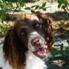 Molly, chien Springer anglais