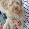 Molly, chien Bichon maltais