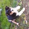 Moly, chien Berger australien