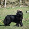 Monia, chien Terre-Neuve