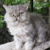 Mouton, chat Selkirk Rex