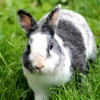 Muffin, rongeur Lapin