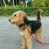 Mulan, chien Airedale Terrier