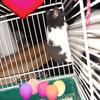 Musclor, rongeur Hamster