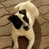 Music, chien Jack Russell Terrier