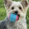 Mya, chien Yorkshire Terrier