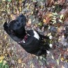 Mya, chien American Staffordshire Terrier