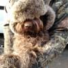 Myrtille, chien Griffon à poil dur Korthals
