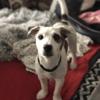Néo, chien Parson Russell Terrier