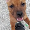 Nahiko Nuts Rocket, chien Staffordshire Bull Terrier