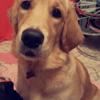 Naidy, chien Golden Retriever
