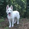 Naika, chien Berger blanc suisse